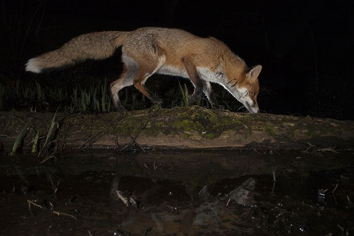 hunting Foxes and Feral Cats at night