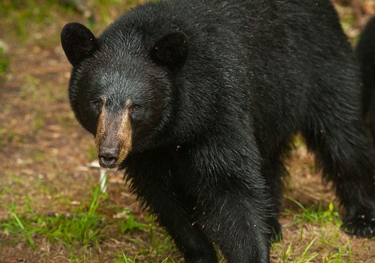 new hampshire bear hunting season