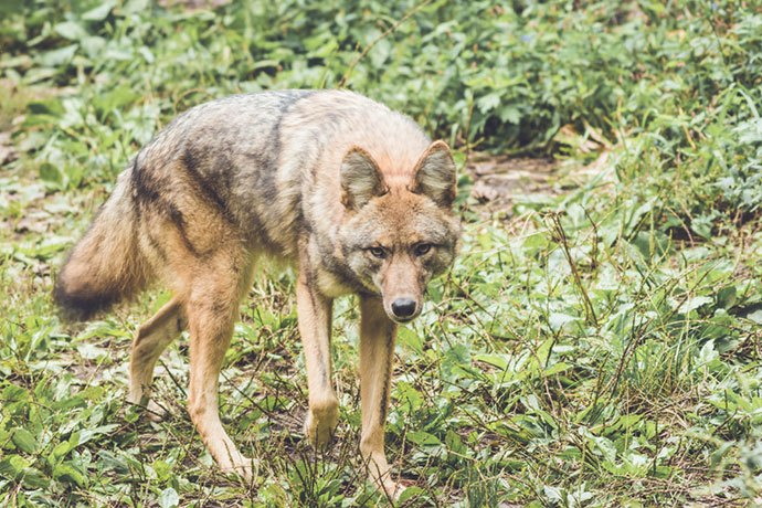what is the best coyote hunting light